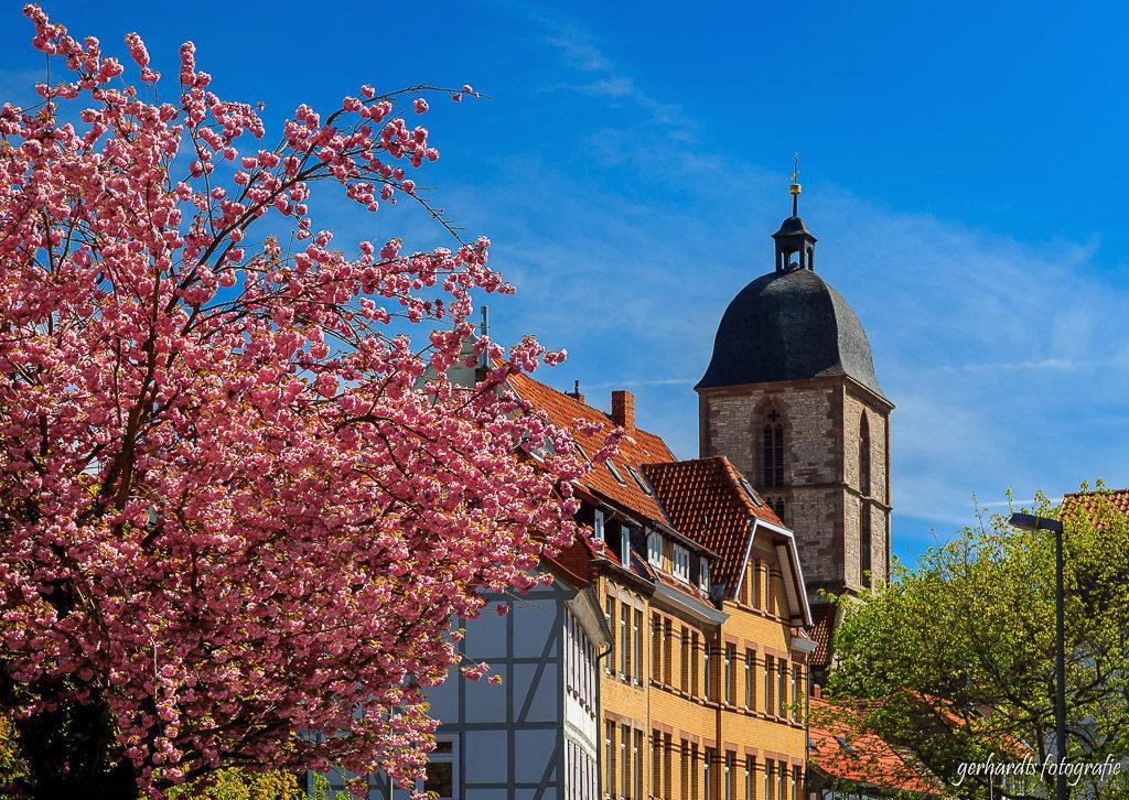Kirschblüte vor der Albanikirche Göttingen