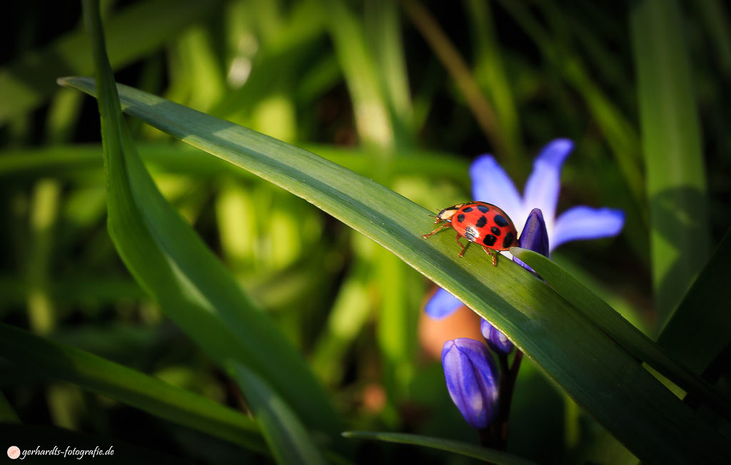 Marienkäfer auf Grashlam