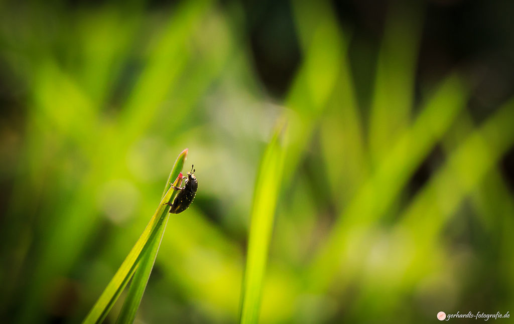 Käfer am Grashalm