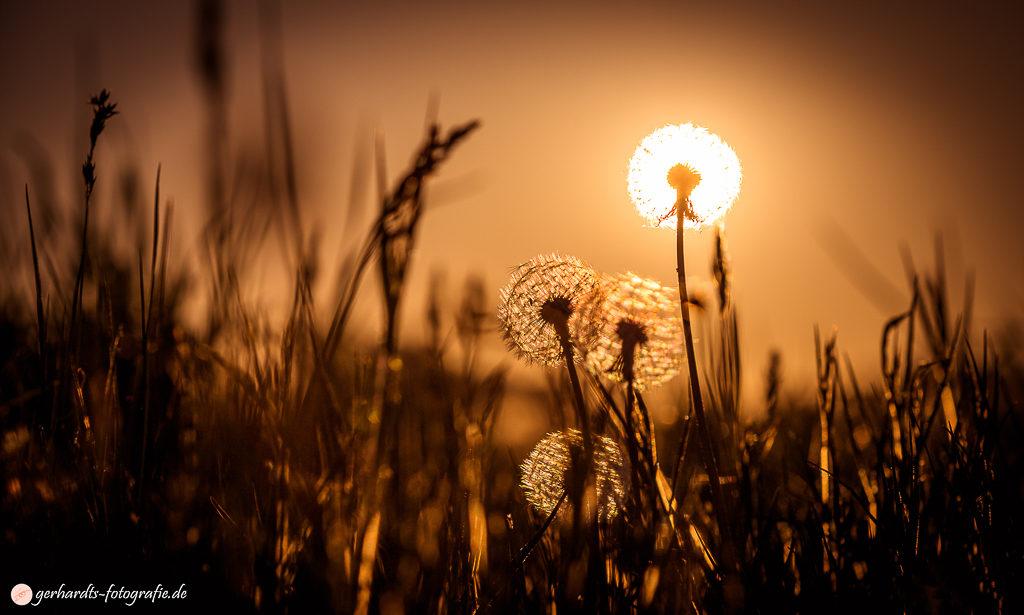 Pusteblümchen vorm Sonnenuntergang